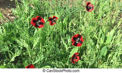 Field of beautiful red poppies in the wind