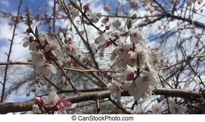 Branch of a blossoming almond tree on garden background.
