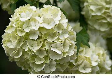 inflorescence Viburnum - White inflorescence Viburnum...