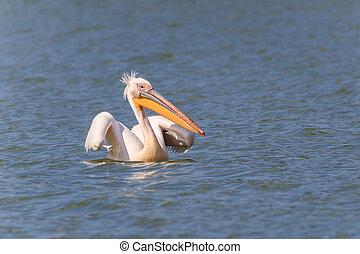 white pelican (pelecanus onocrotalus) in Danube Delta,...