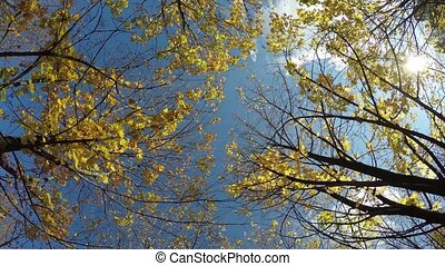 autumn look. Maple tree with yellow leaves