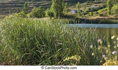 The tall Typha Latifolia grass a lake blowing by the wind, a swallow flies and touches the water