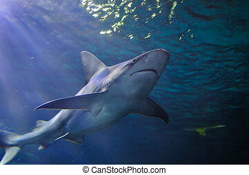 Gray Reef Shark underwater, taken at the Denver Aquarium