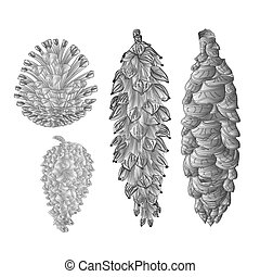 Pine cones pine and spruce as engraving vintage vector.eps