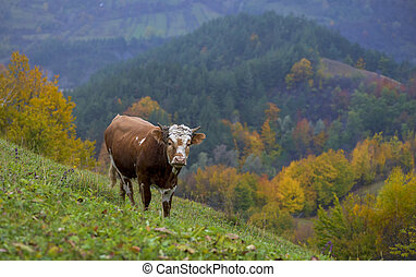 cow on autumn pasture in mountains