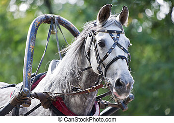 Portrait of gray carriage driving horse
