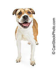 Pit Bull Crossbreed Dog Happy Expression
