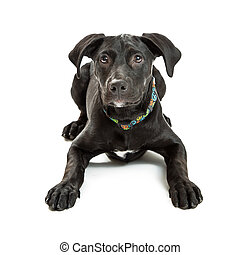 Obedient Black Labrador Crossbreed Puppy - Well-behaved...