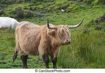 The Highlands with Highland Cattle - Muddy Highland cattle...