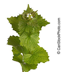 Leafy stem and flowers of garlic mustard isolated - Leafy...