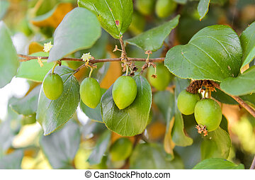 Close up of jujube fruits growing on its trees