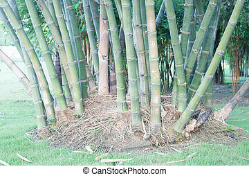 bamboo root - bamboo toot create young new bamboo in future