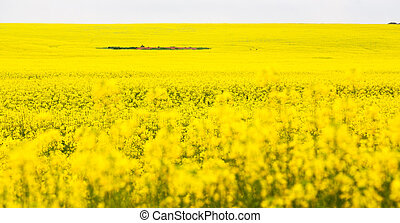 in south africa close up of the colza field - in south...