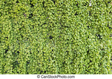 Dischidia ruscifolia or million hearts plant natural...