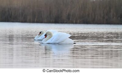 pair of swans swimming on the lake and protecting its territory