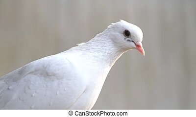 white dove sits and looks at the camera