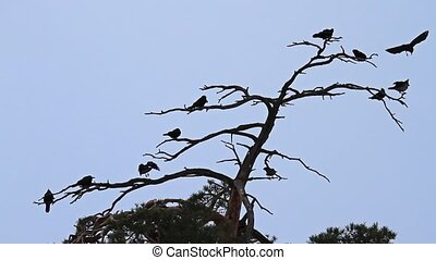 crows and rooks sit overnight on a dry tree