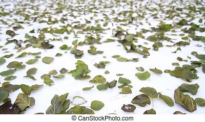 Early winter green leaves lying on the snow