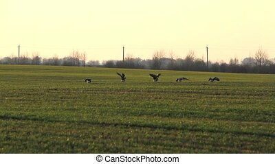 Wild geese fly on the wheat field