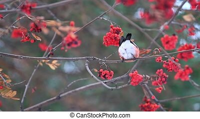 bullfinch sitting on mountain ash berries