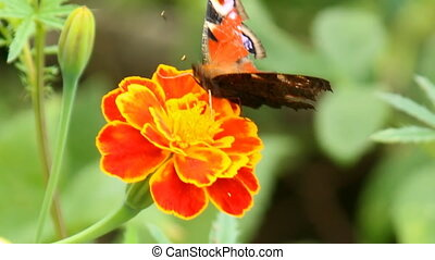butterfly on a flower - bright butterfly collects nectar on...