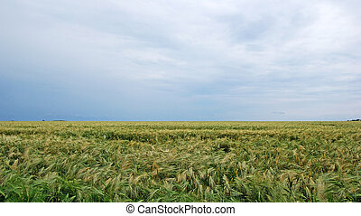 Field of rye landscape. Dramatic summer weather