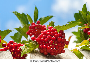 Bunch of guelder-rose berries on wooden fence with sky -...