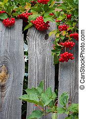 Bunch of guelder-rose(viburnum) berries on wood en fence -...