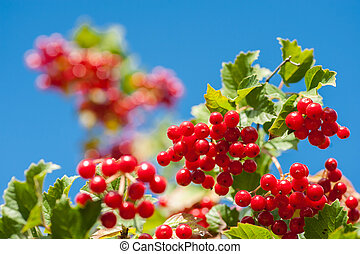 Bunch of guelder-rose berries on the blue sky background -...