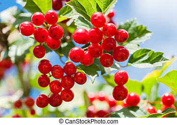 Bunch of guelder-rose berries outdoors - Bunch of...