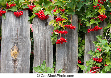 Bunch of guelder-rose berries on wooden fence - Bunch of...