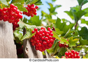 Bunch of guelder-rose(viburnum) berries on the blue sky...