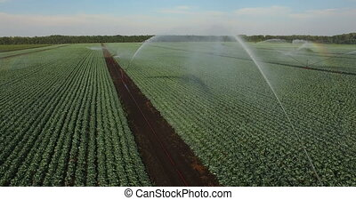Irrigation system watering a field of cabbages