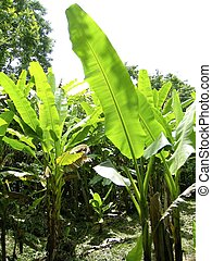 banana trees field detail in mexico - banana trees field...