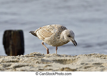 European herring gull - Portrait from a European herring...