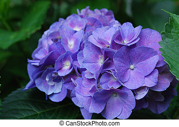 Pretty Blue Hydrangea Flower Blossom in Bloom - Flowering...