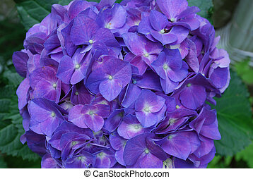 Pretty Blue Flowering Hydrangea Blossom - Blooming blue...