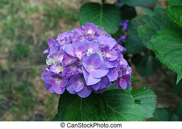 Gorgeous Flowering Purple Hydrangea - Very pretty blooming...