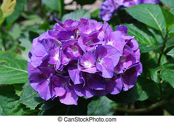 Purple Hortensia Flower Blossoms in Bloom - Blooming purple...