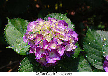 Pretty Purple Hydrangea Budding and Blooming - Flowering...