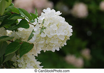 Pretty Flowering White Hydrangea Blossoms - Very pretty...