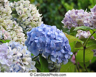 Pastel Hydrangea Flowering Boughs in Bloom - Boughs of...