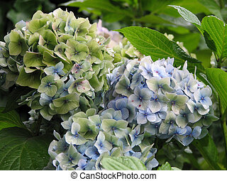 White and Light Blue Hydrangea Flower Blossoms - Pretty...