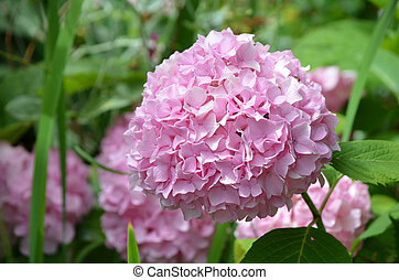 Beautiful Pink Hydrangea Flower Bush in Bloom - Pretty...