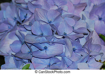 Light Blue Hydrangea Blossom Blooming - Flowering light blue...