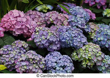 Pretty Garden with Clusters of Blooming Hydrangea -...