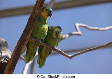 Błękitny, amazonka, papuga