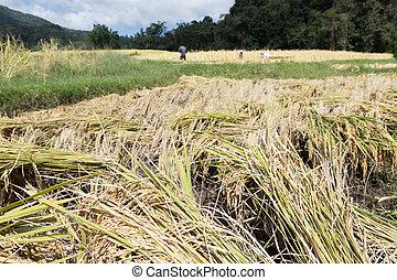 farmer harvesting rice in paddy field in Baan Mae Klang...