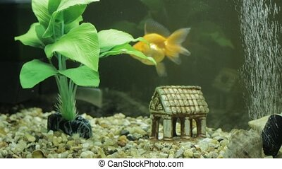 Goldfish in an aquarium and green
