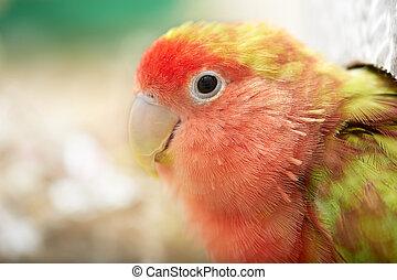 Lovebird. - Cute funny rosy-faced lovebird parrot macro...